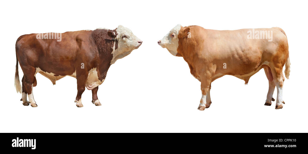 Photo of the breeding bull on a exhibition on a white background - Stock Image
