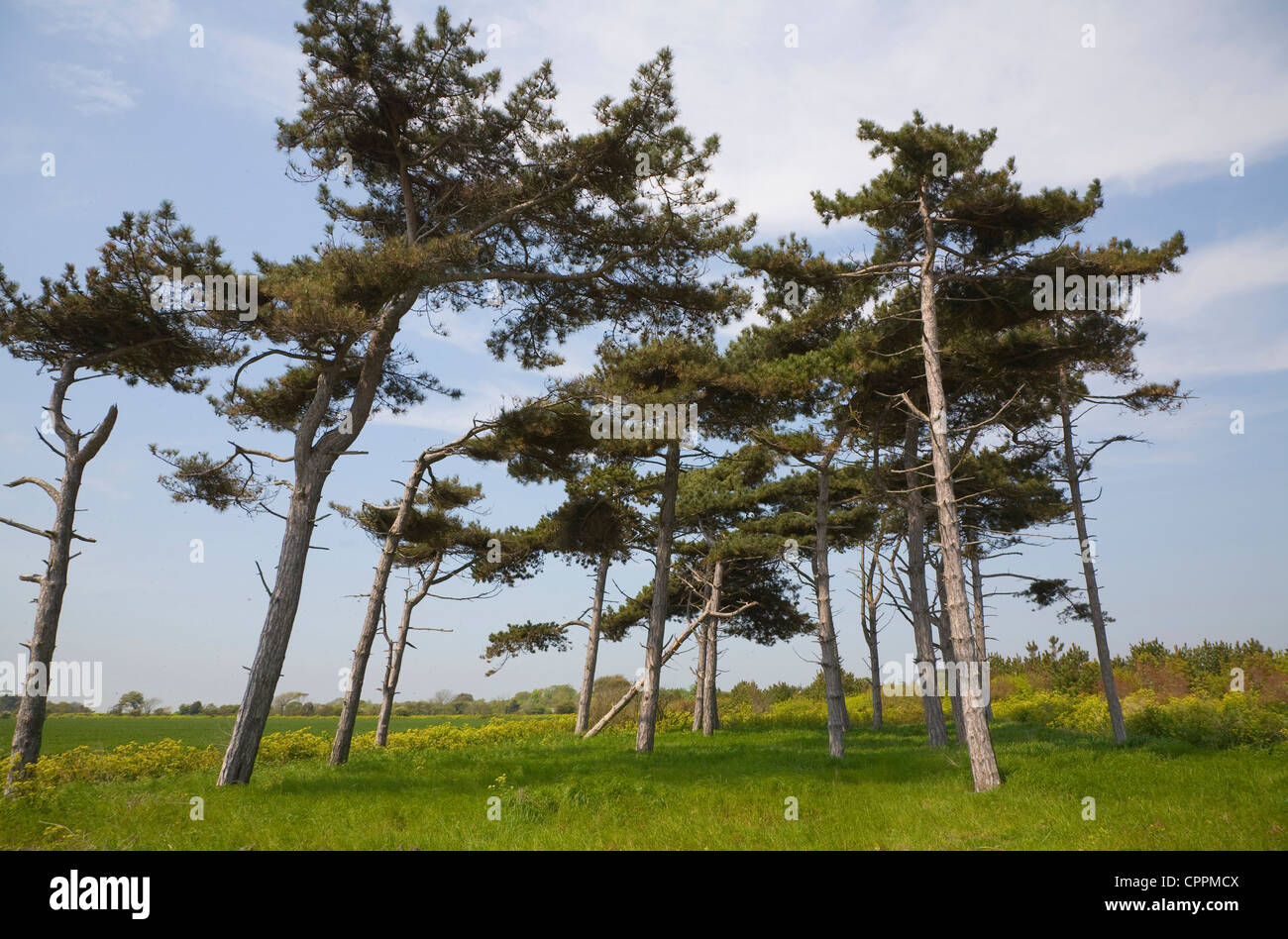 Clump pine trees looking up Bawdsey, Suffolk, England - Stock Image