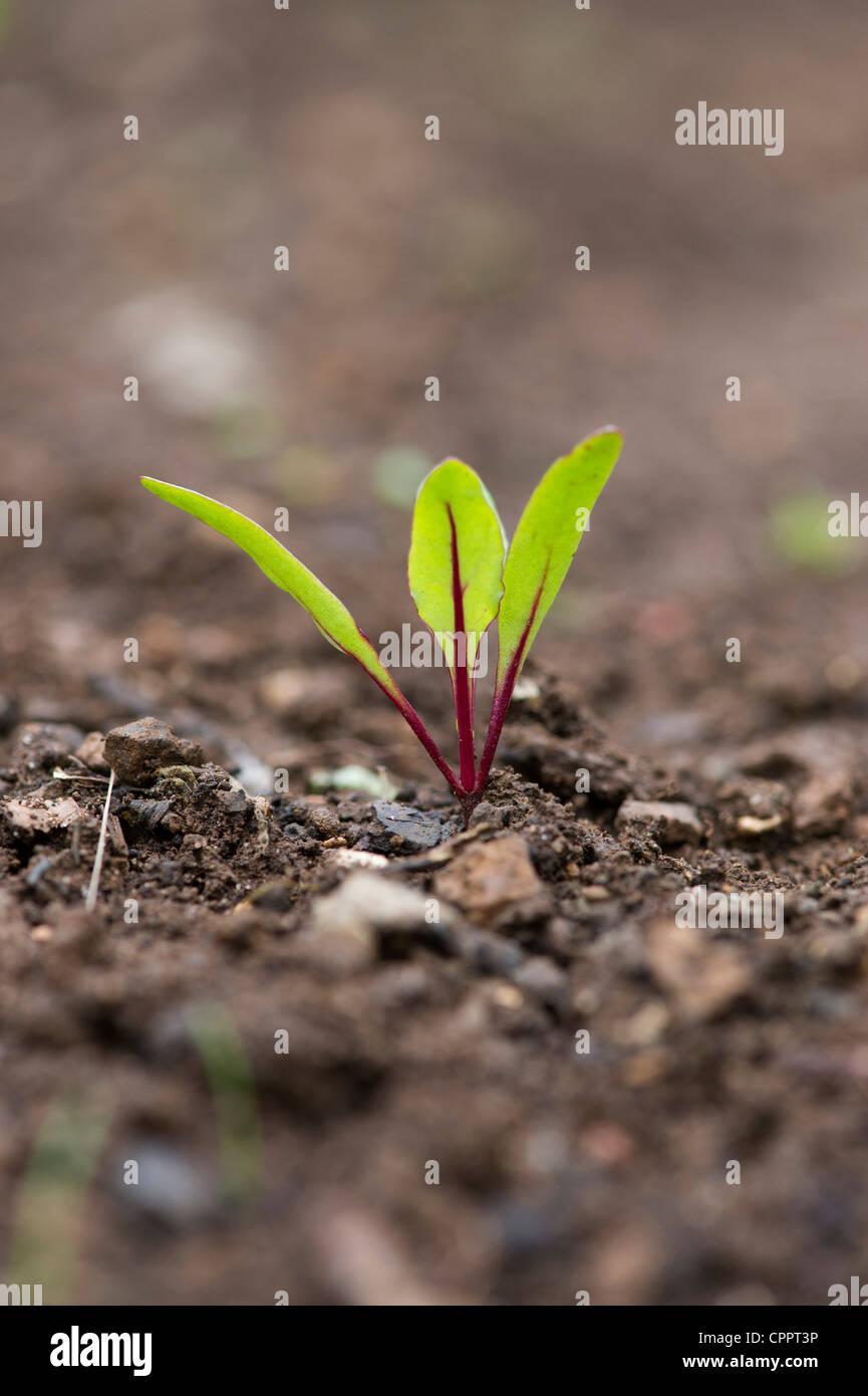 Beta vulgaris. Beetroot seedling in a vegetable patch - Stock Image