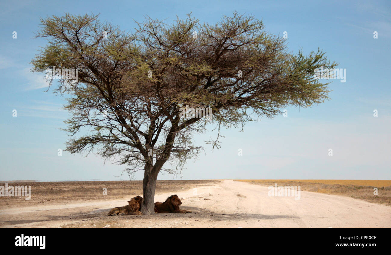 Thee male lions in the shade of a lone tree on the Etosha Pan - Stock Image