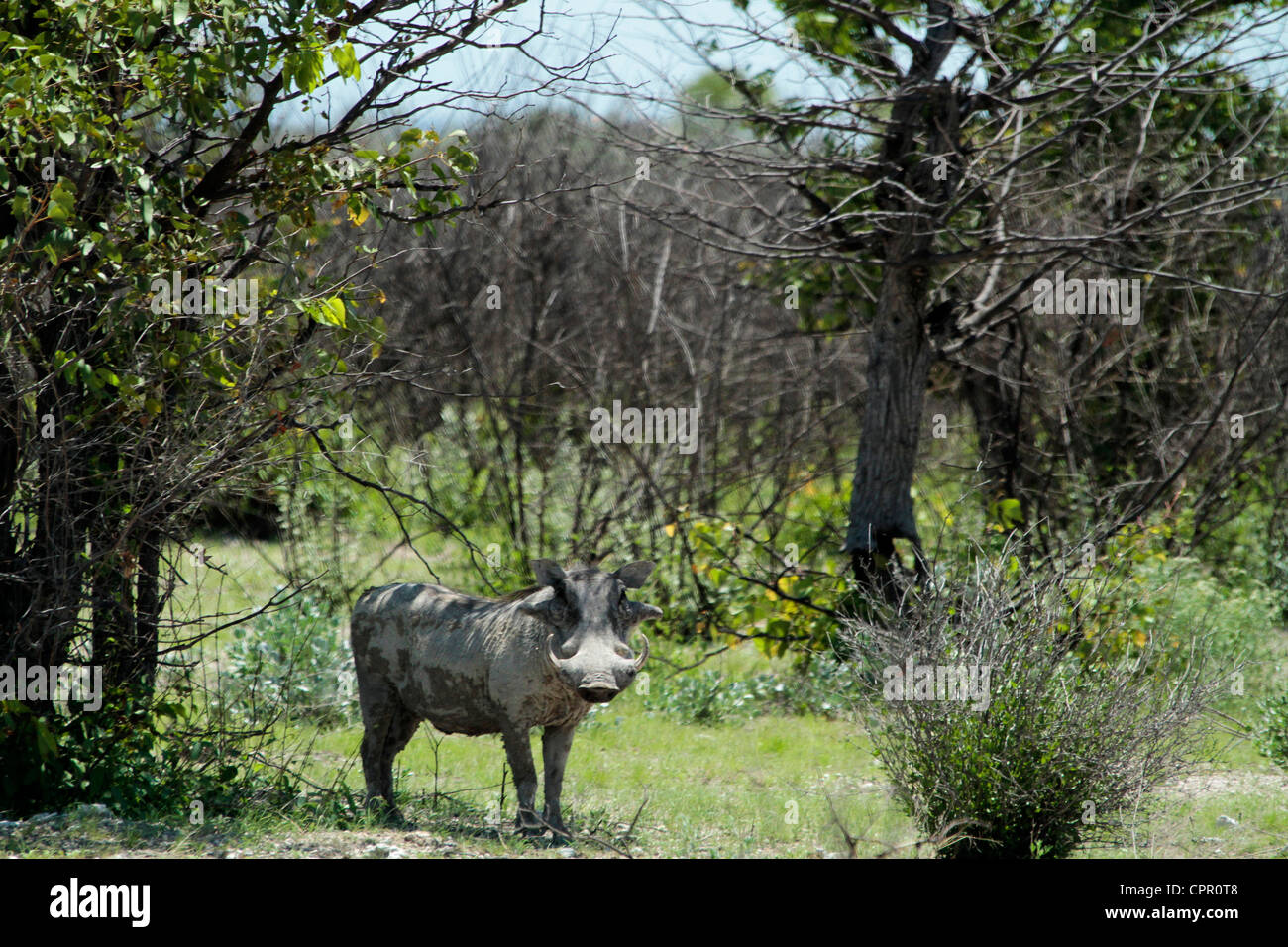 Normally warthogs disappear at first sign of human intrusion but this guy found a lovely patch of shade & was - Stock Image