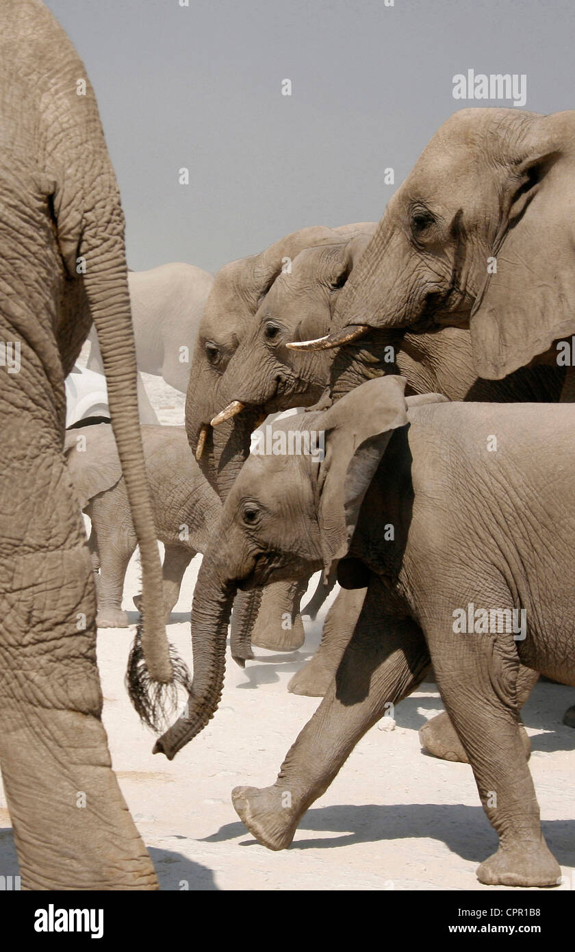 An elephant herd walk past extremely close - Stock Image