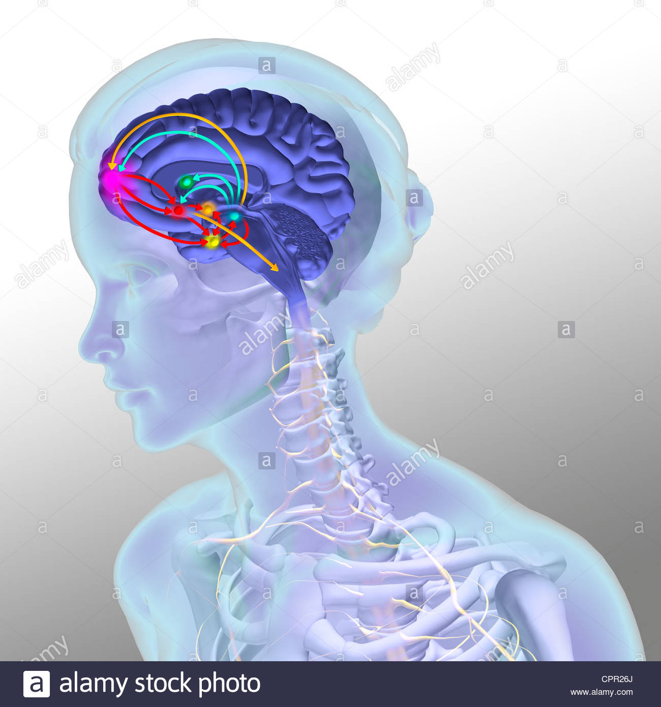 limbic system stock photos amp limbic system stock images