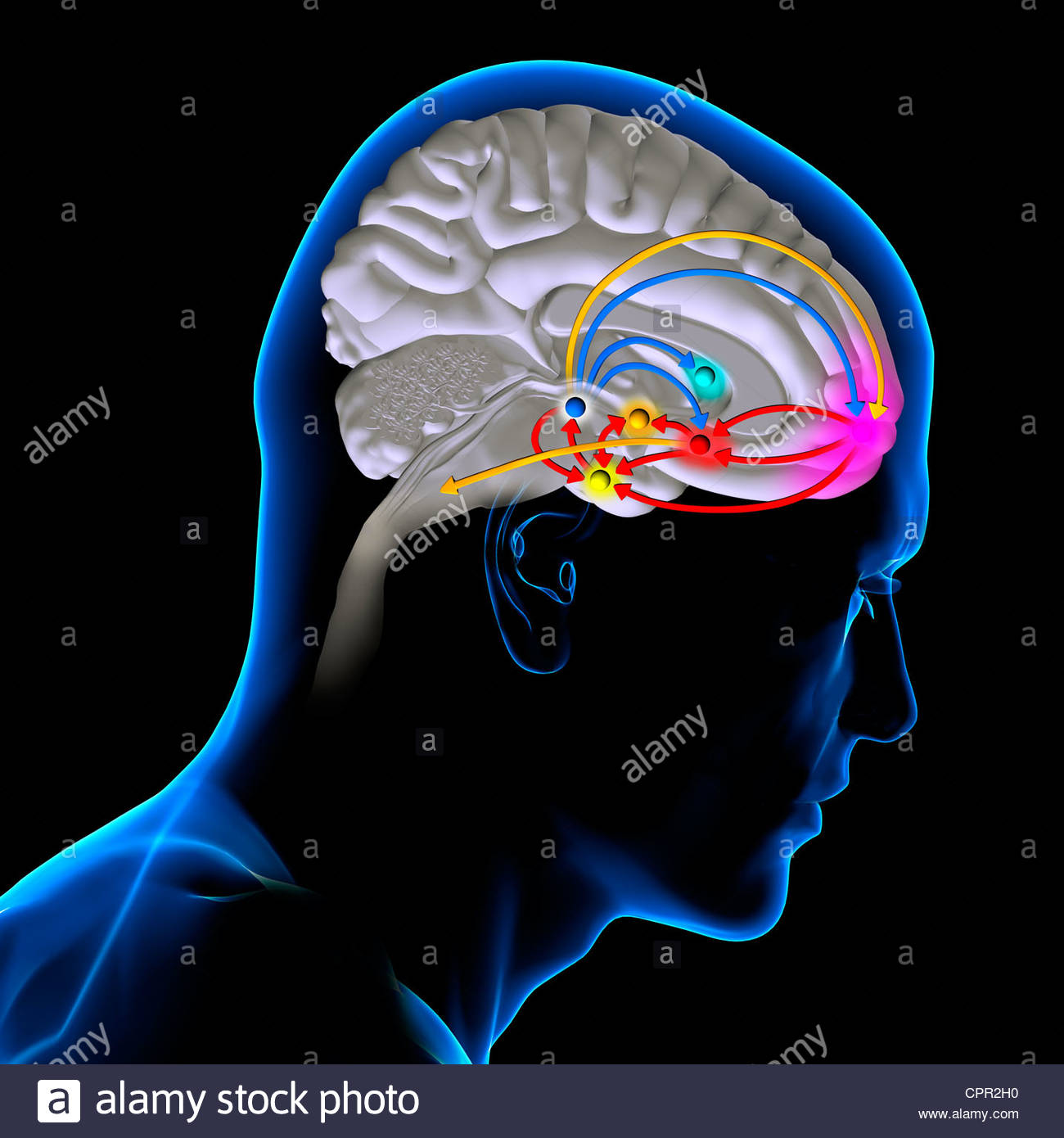 BRAIN REWARD SYSTEM - Stock Image