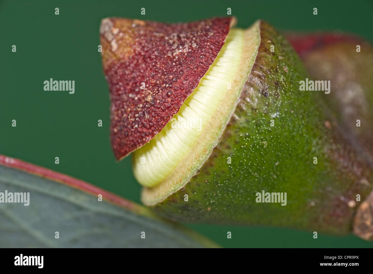 Yellow eucalyptus flower opening - Stock Image
