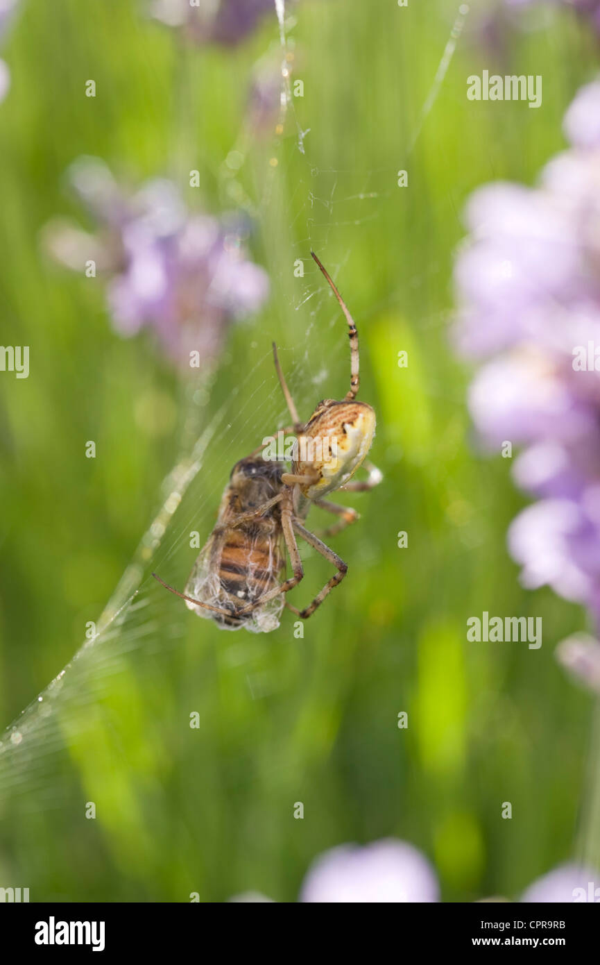 Weaver spider wrapping up a bee in web amongst lavender flowers - Stock Image