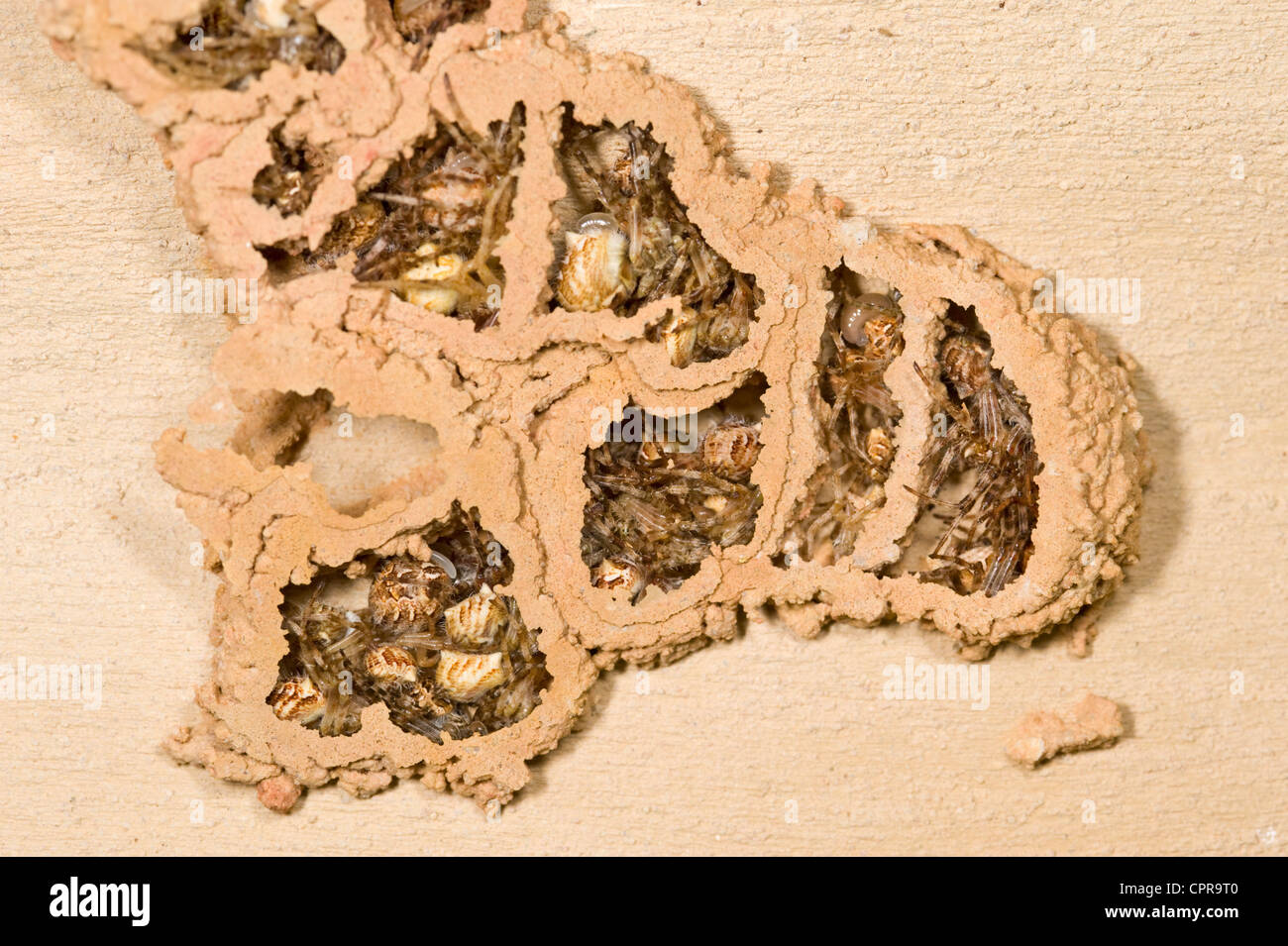 Spiders and grubs inside mud wasp nest - Stock Image