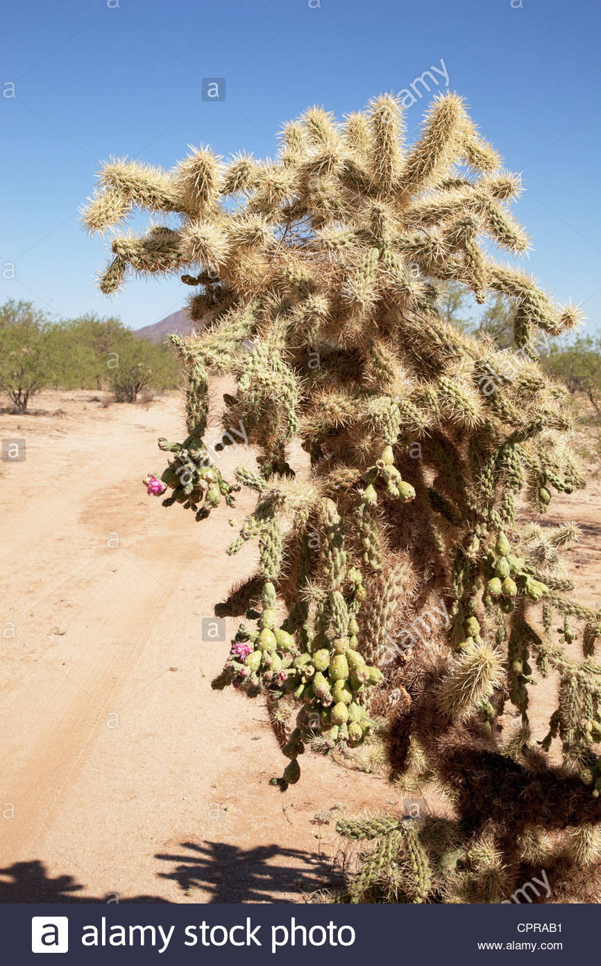 Chainfruit Cholla Jumping Cholla Oputina Cylindropuntia fulgida Arizona - Stock Image