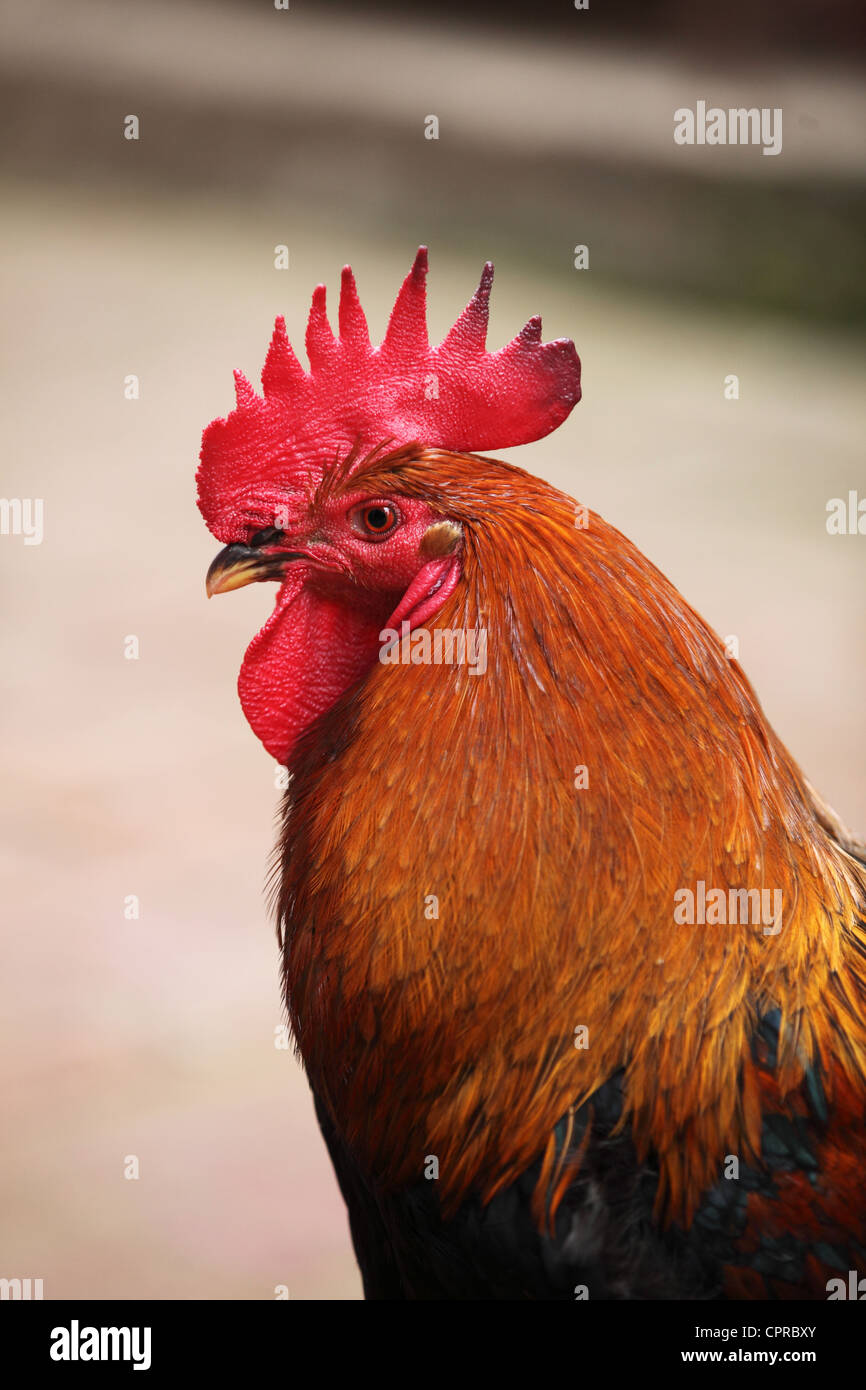 Nepali rooster - Stock Image