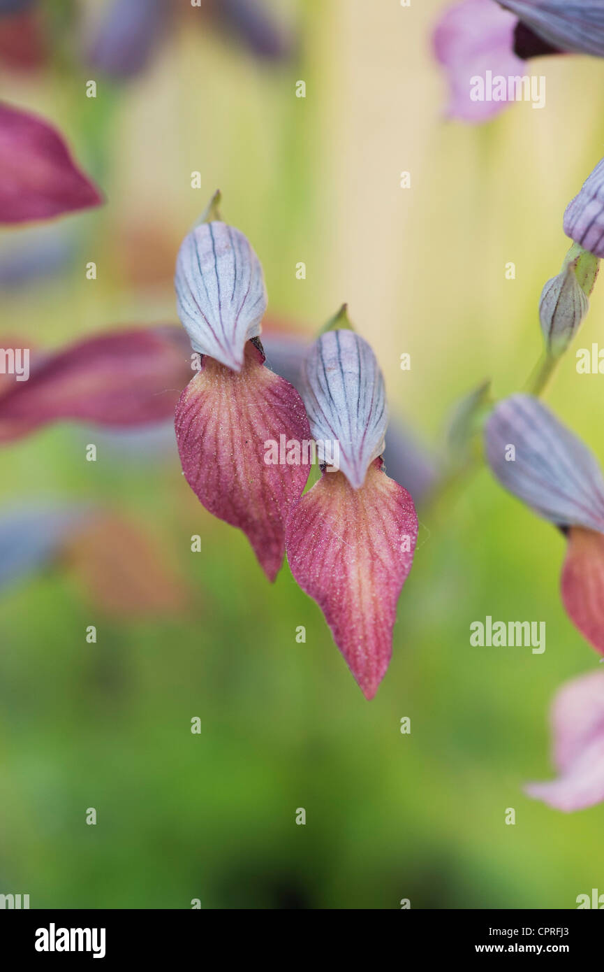 Serapias Lingua. Tongue Orchid - Stock Image