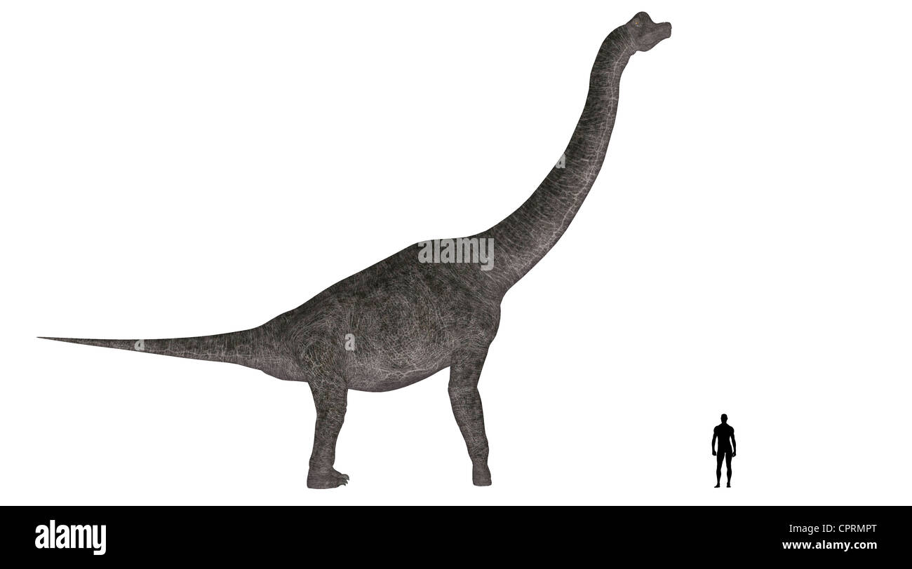 Illustration of a comparison of the size of an adult Brachiosaurus with an average adult male human (1.8 meters) Stock Photo