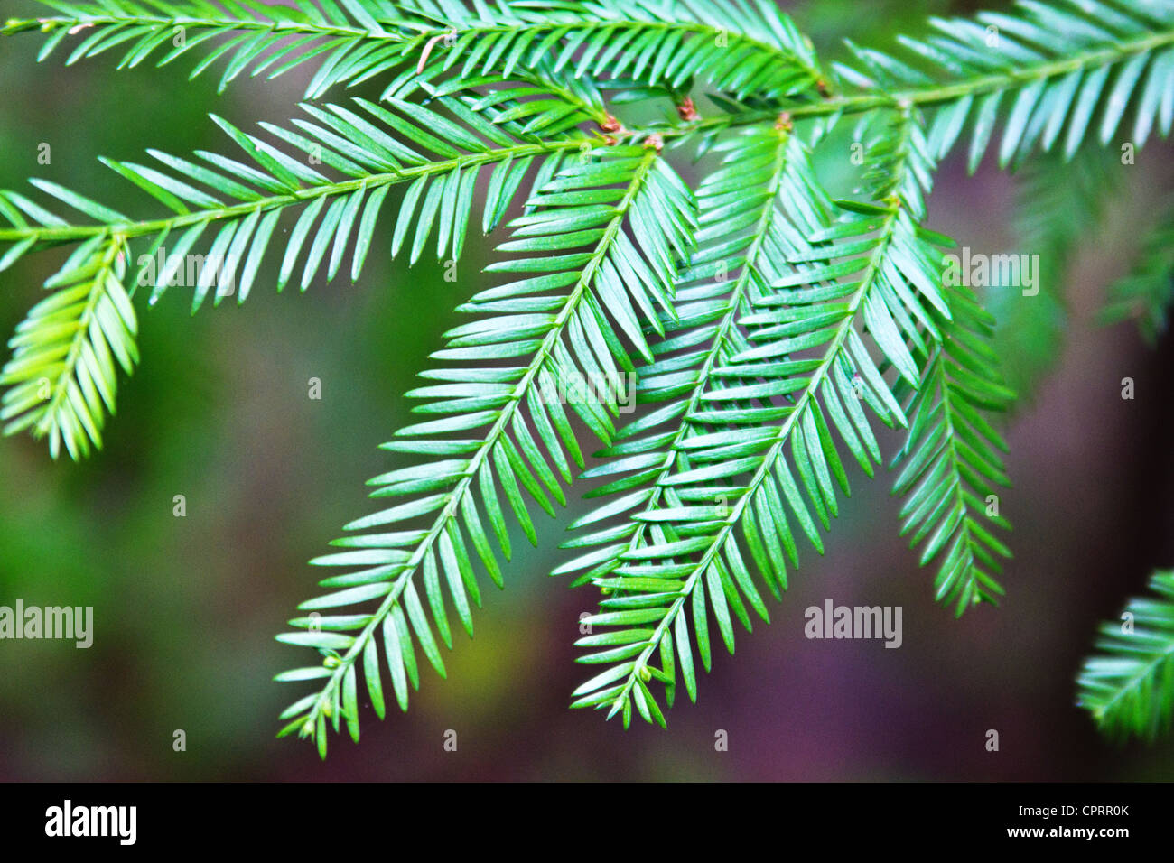 closeup of Coast redwood branch (Sequoia sempervirens) - Stock Image