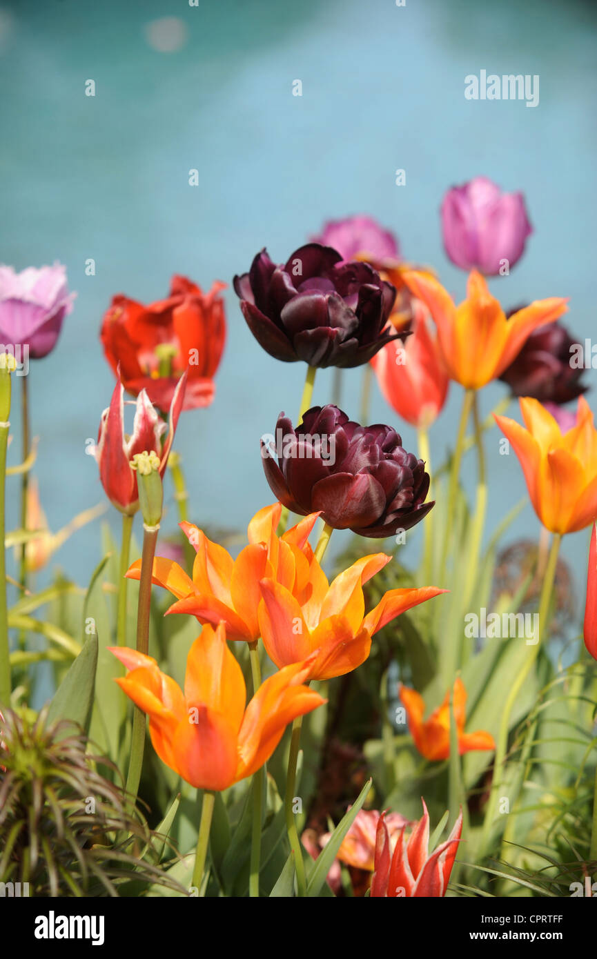 Tulips (Queen of the Night) in a pot by a water feature in an English garden UK - Stock Image