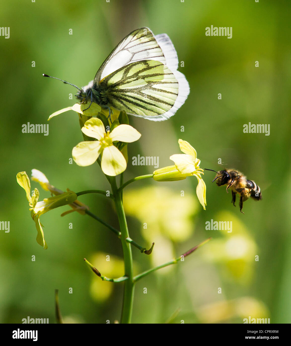 Green Veined White butterfly Pieris napi and flying bee feeding on yellow flowers of Wild Cabbage - Stock Image
