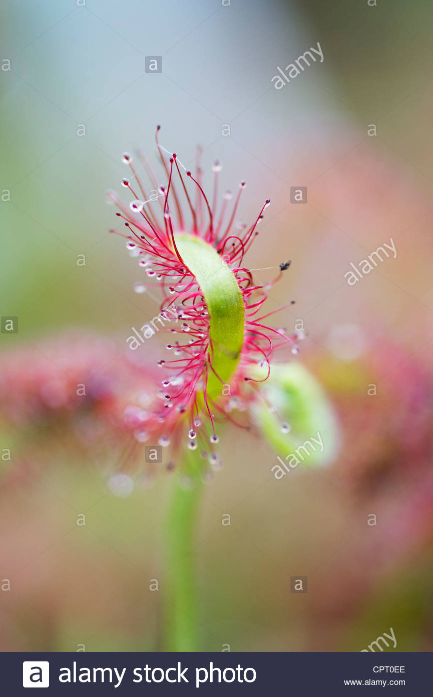 Drosera anglica. English sundew or Great sundew sticky tentacles on leaves - Stock Image