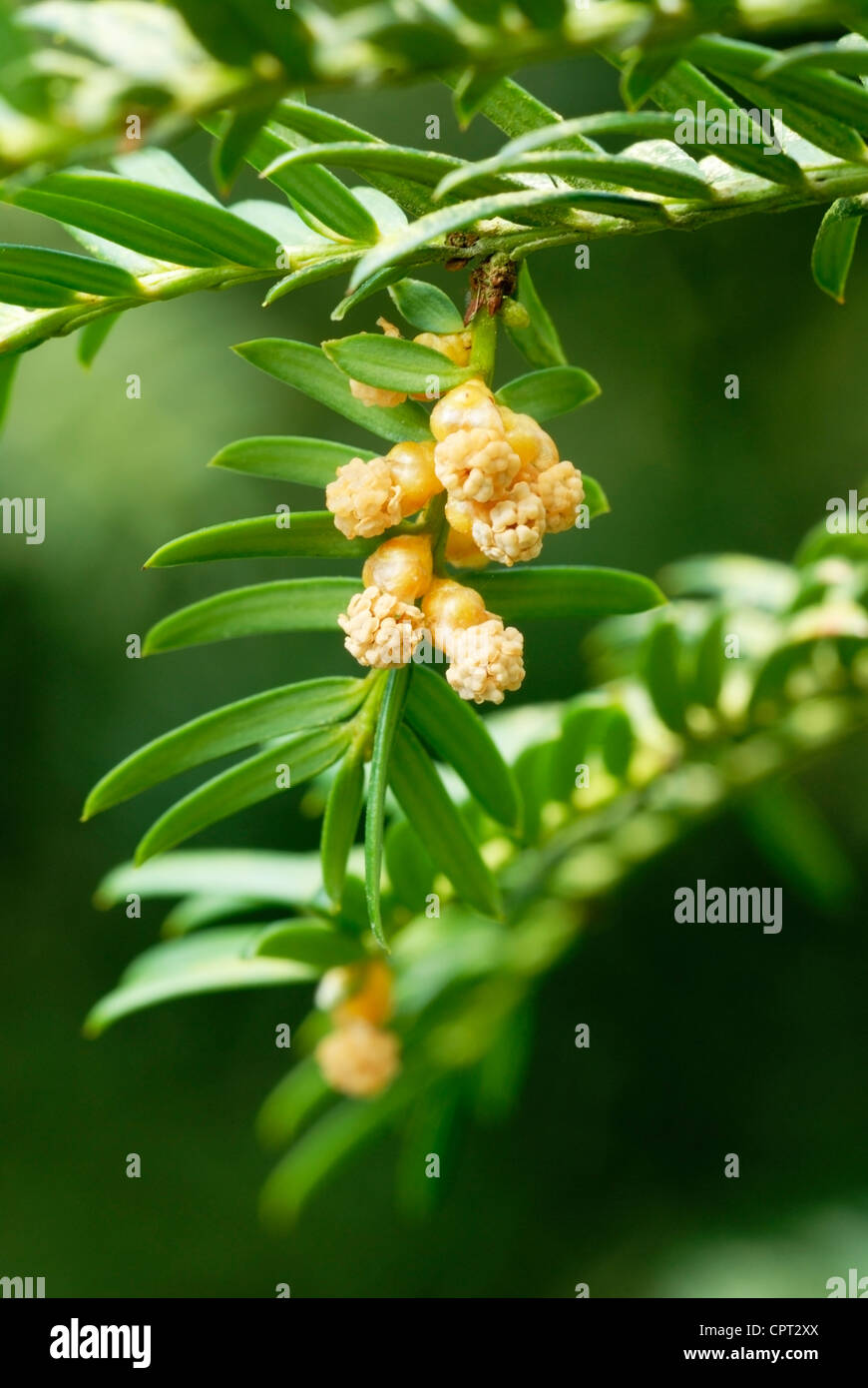 Taxus baccata, male flowers of the Yew tree - Stock Image