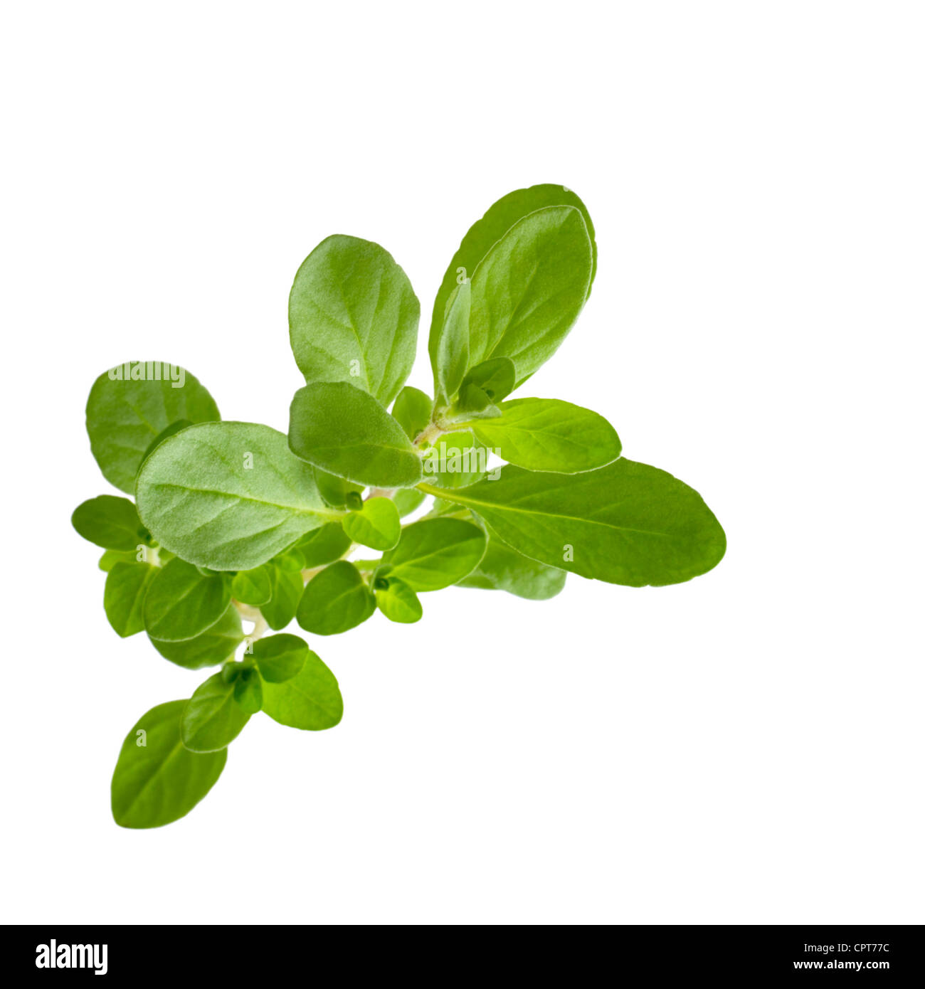 Marjoram on white background, viewed from above. - Stock Image