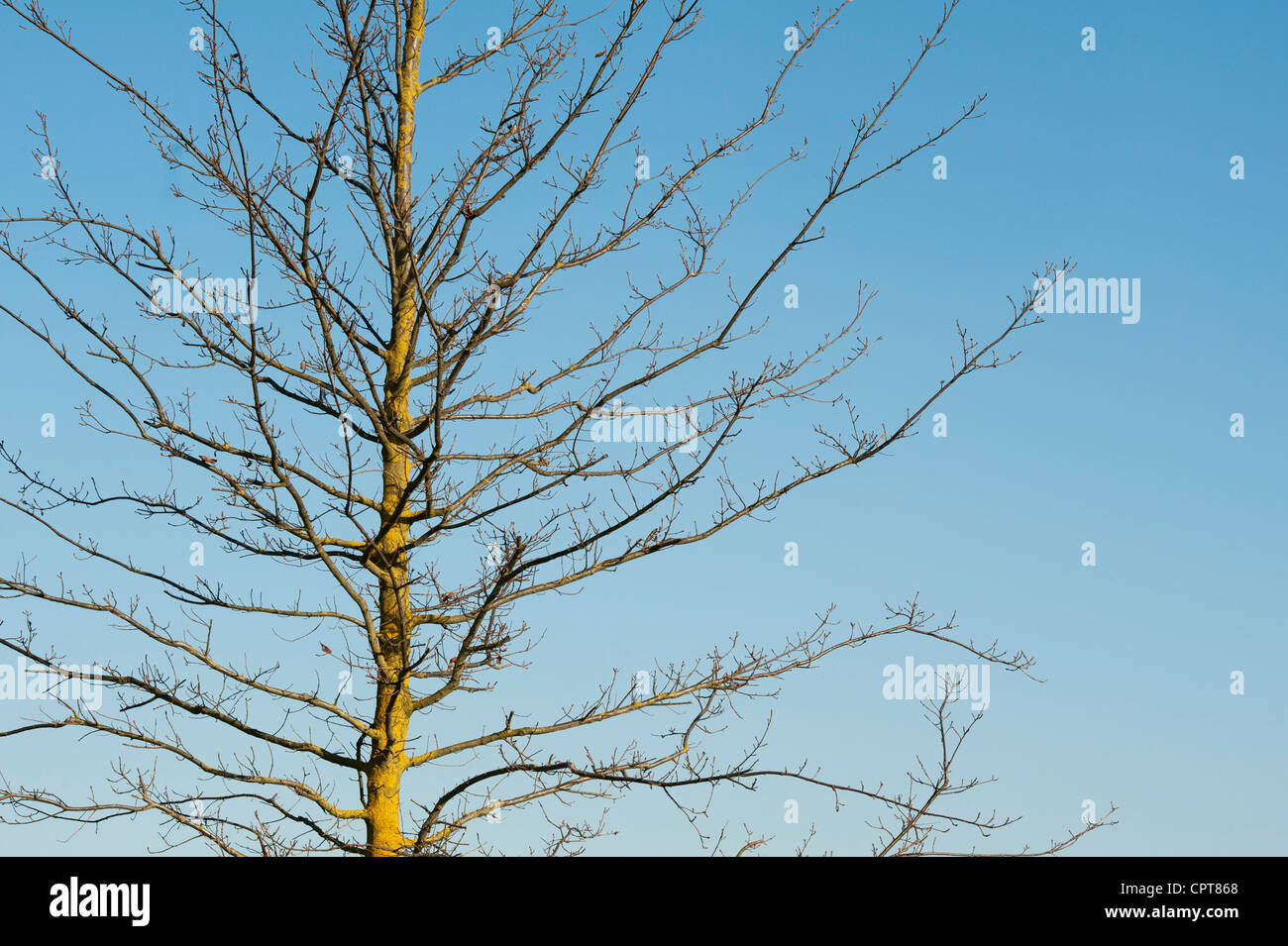 Quercus cerris. Bare turkey oak tree in early spring. UK - Stock Image