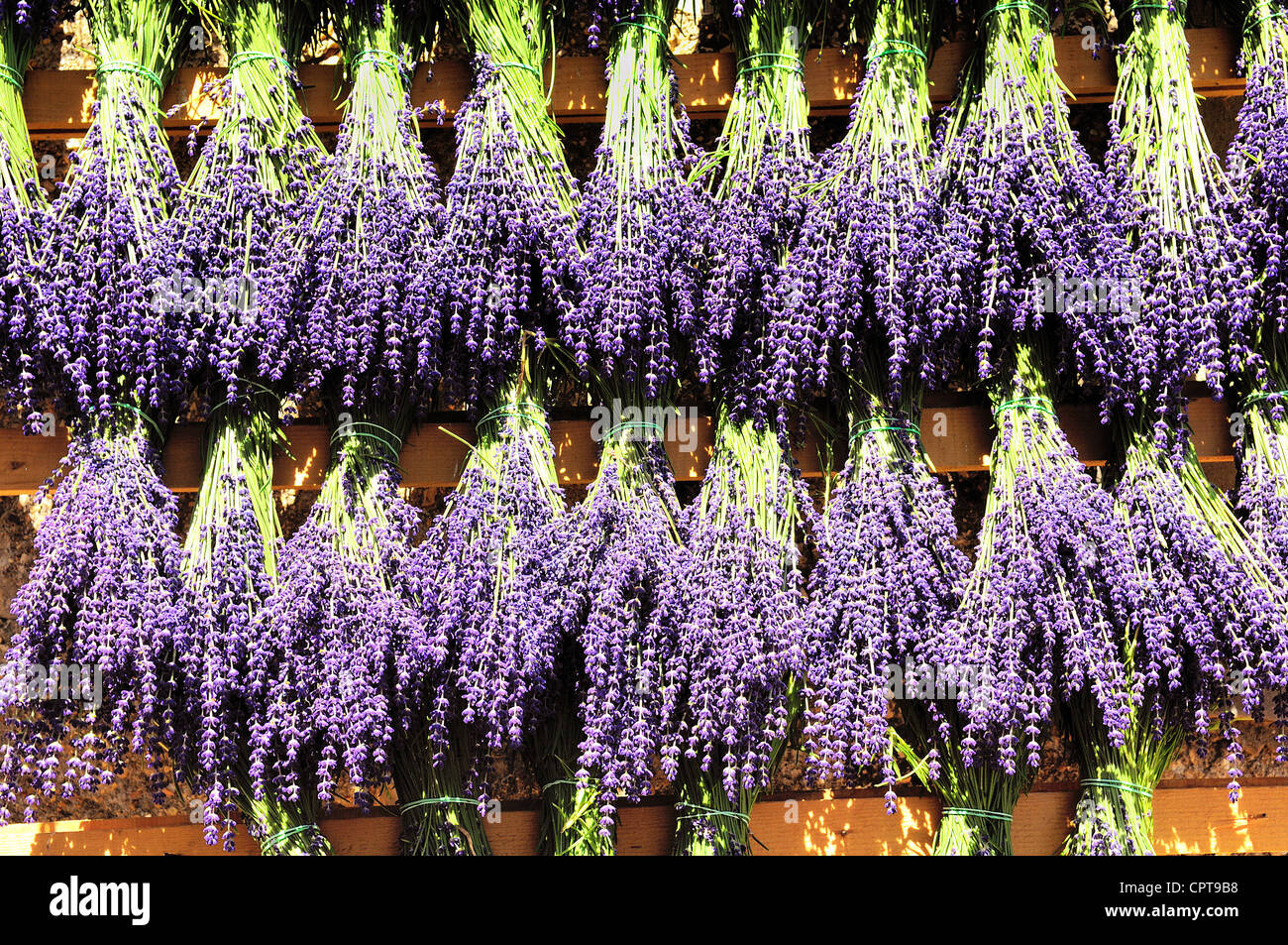 Bundles of lavender hung to dry in the sun - Stock Image