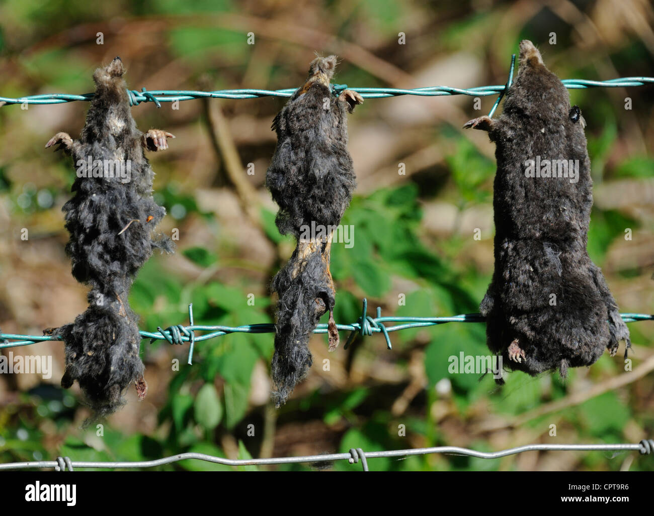Dead moles on barbed wire fence. Winster Valley, Lake District National Park, Cumbria, England, United Kingdom, - Stock Image