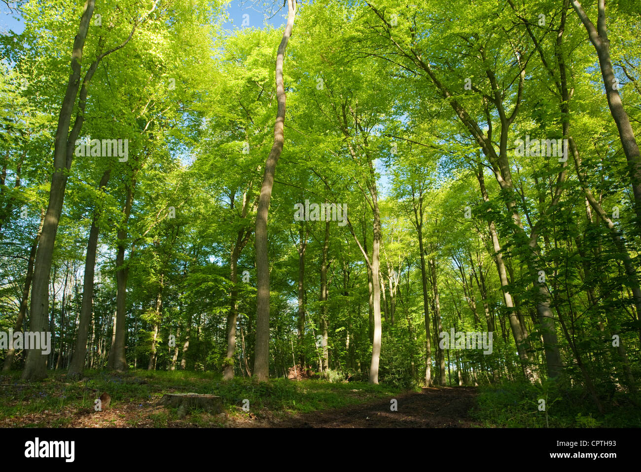 Beech woodland in Spring, Chilterns, Uk - Stock Image