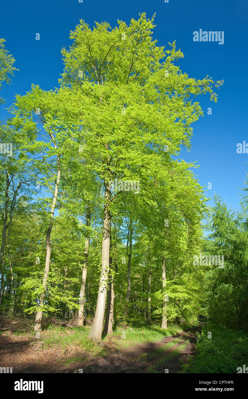 Beech woodland in Spring, Chilterns, Uk Stock Photo