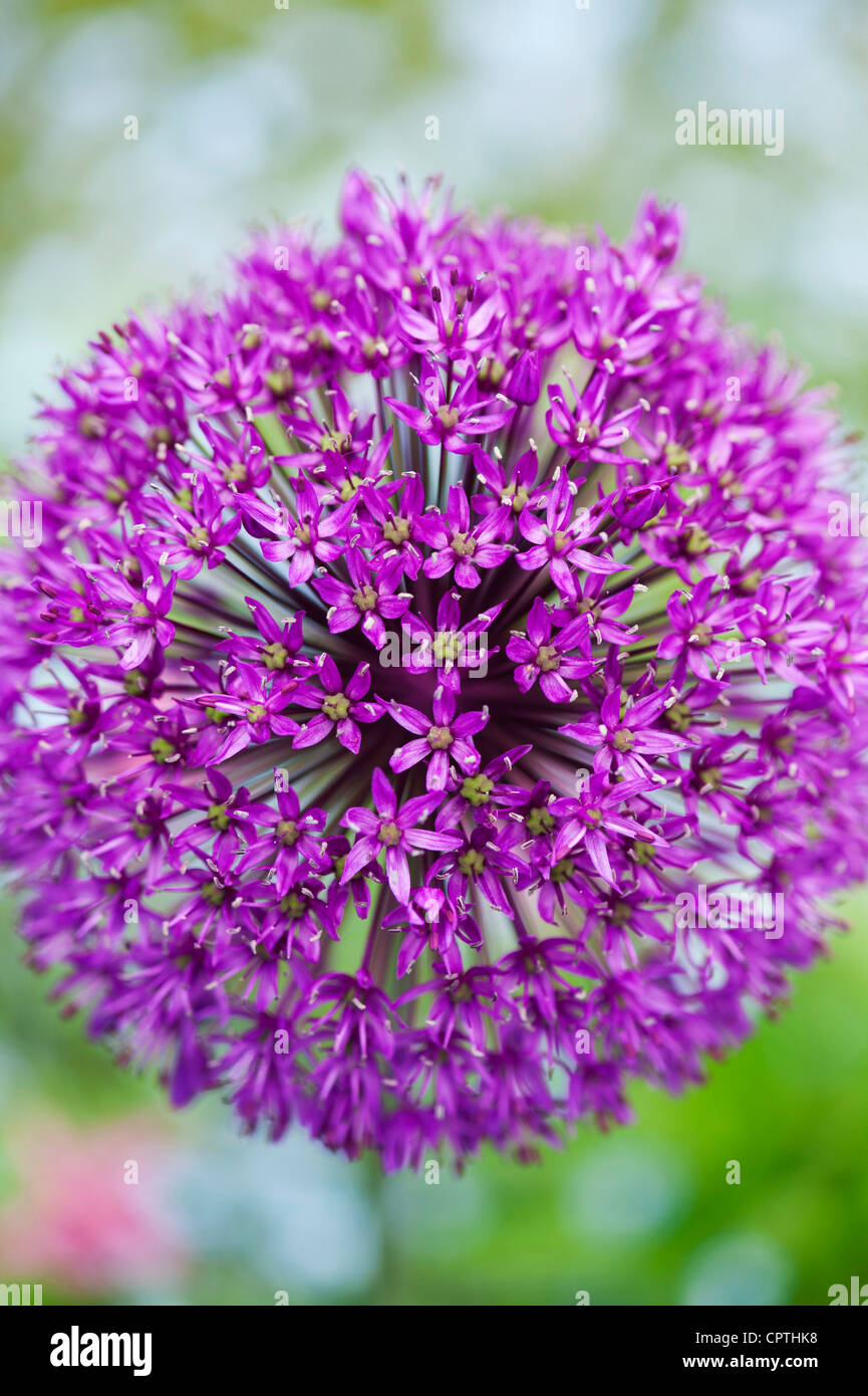 Allium hollandicum 'Purple Sensation'. Ornamental Onion flower - Stock Image