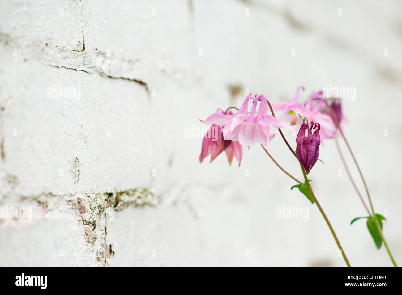Pink Aquilegia vulgaris flower against a white painted garden wall - Stock Image