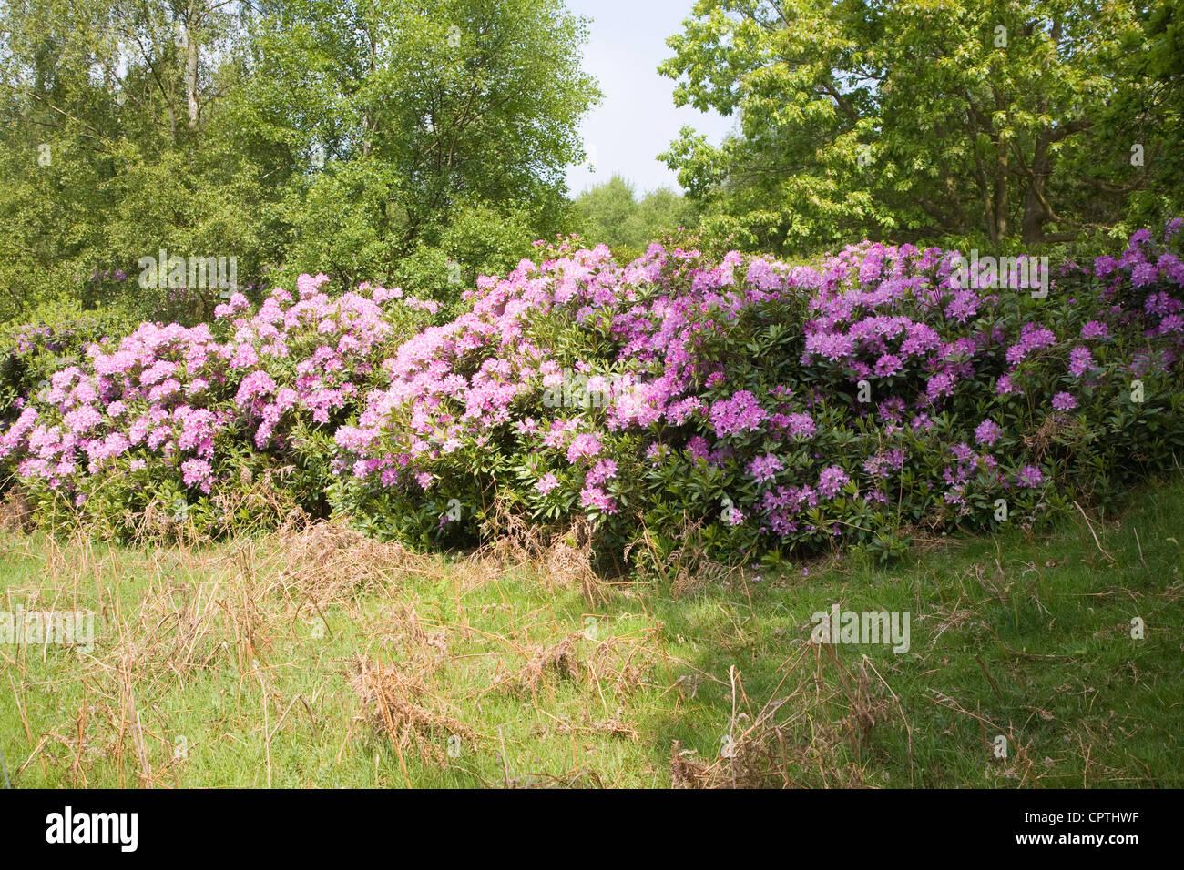 Purple Rhododendron flowers growing wild on Sutton Heath, Suffolk, England - Stock Image