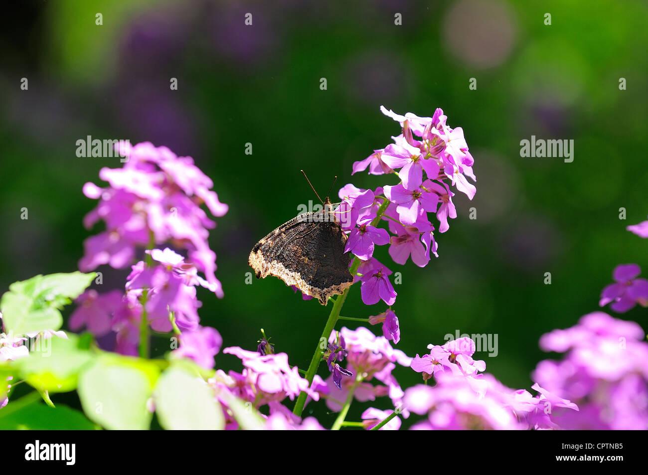 Morning Cloak butterfly on Flocks - Stock Image