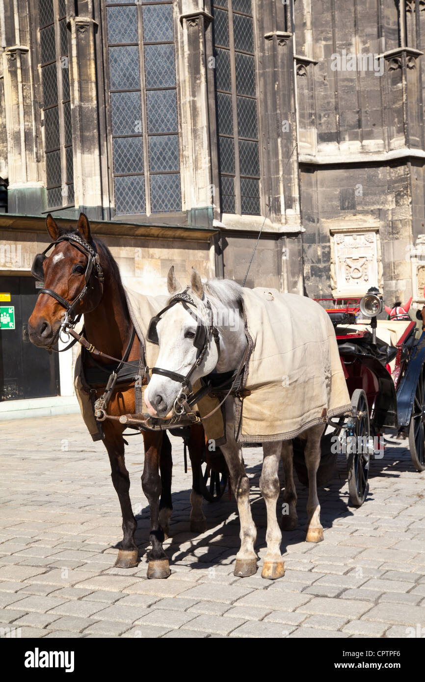 Two Fiaker Horses with their carriage in front of Saint Stephen's Cathedral in Vienna - Stock Image