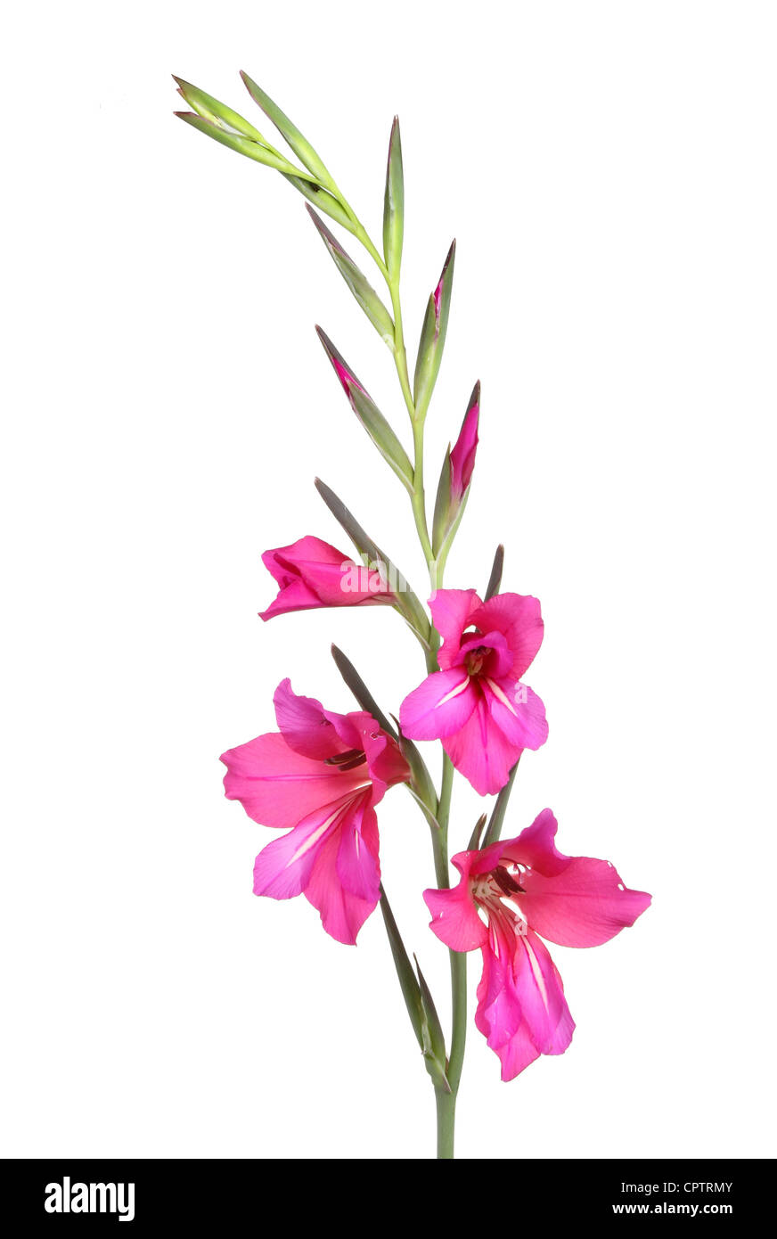 Crimson gladiolus flowers isolated against white - Stock Image