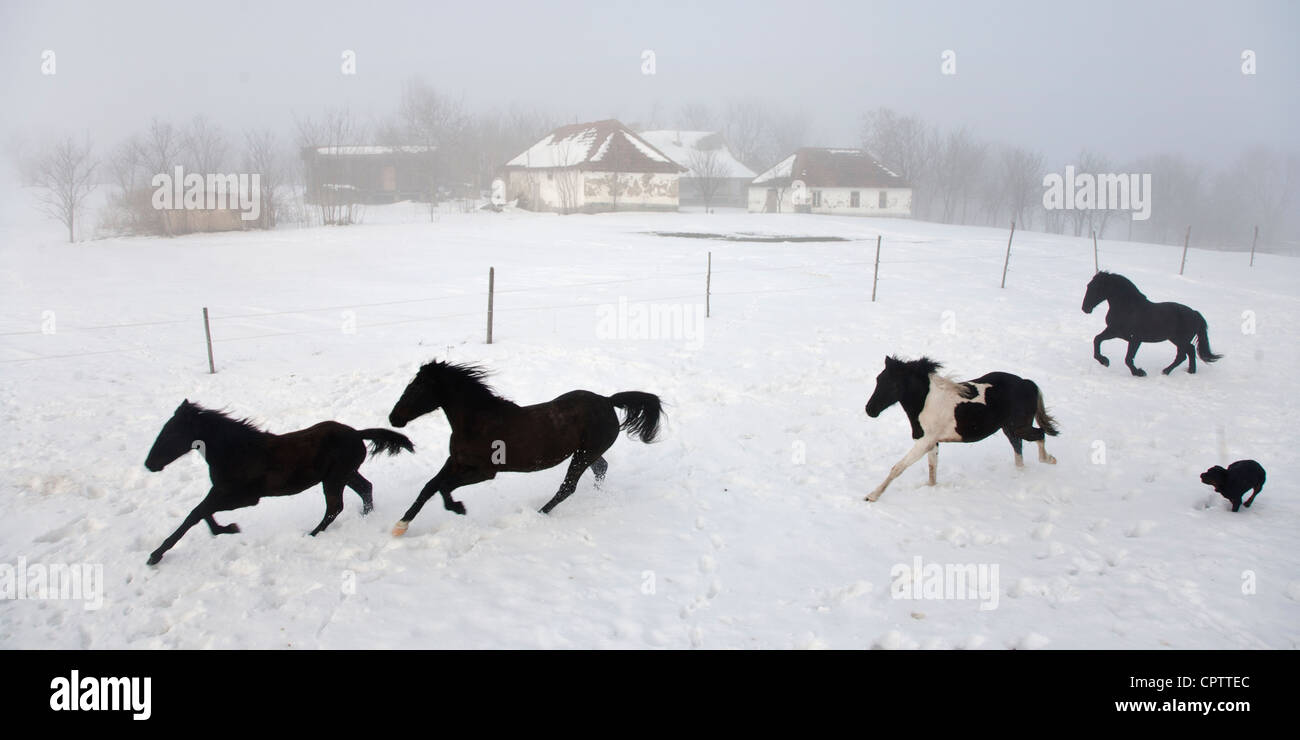 Black Horses Running In Winter On A Farm In Serbia Stock Photo Alamy