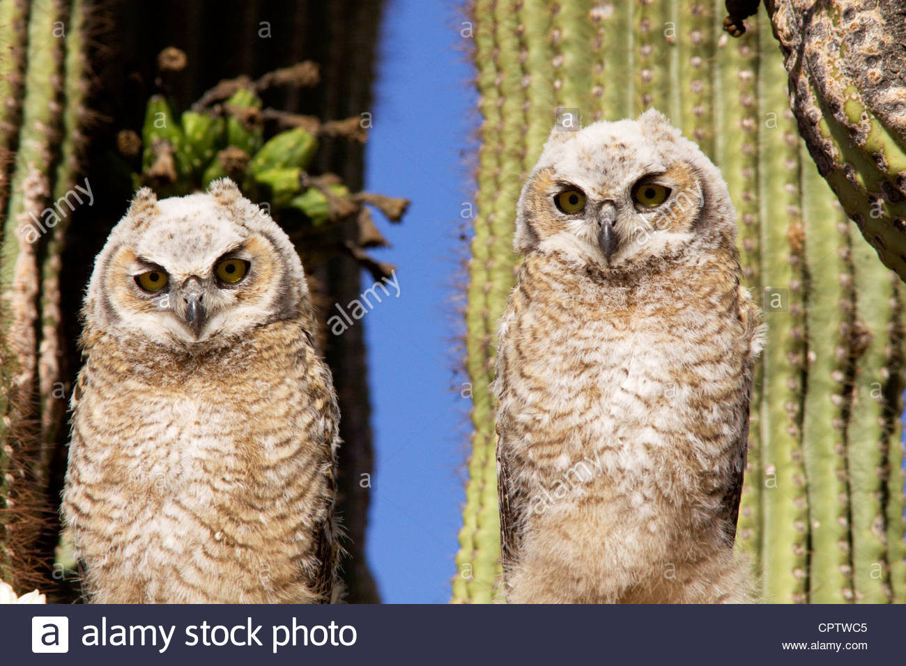 Great Horned Owls Bubo virginianus fledglings 2 on saguaro cactus Arizona - Stock Image