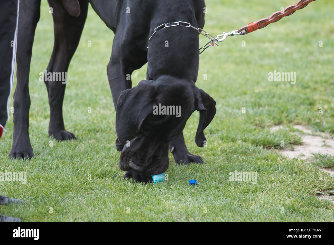 Big black german mastiff Stock Photo