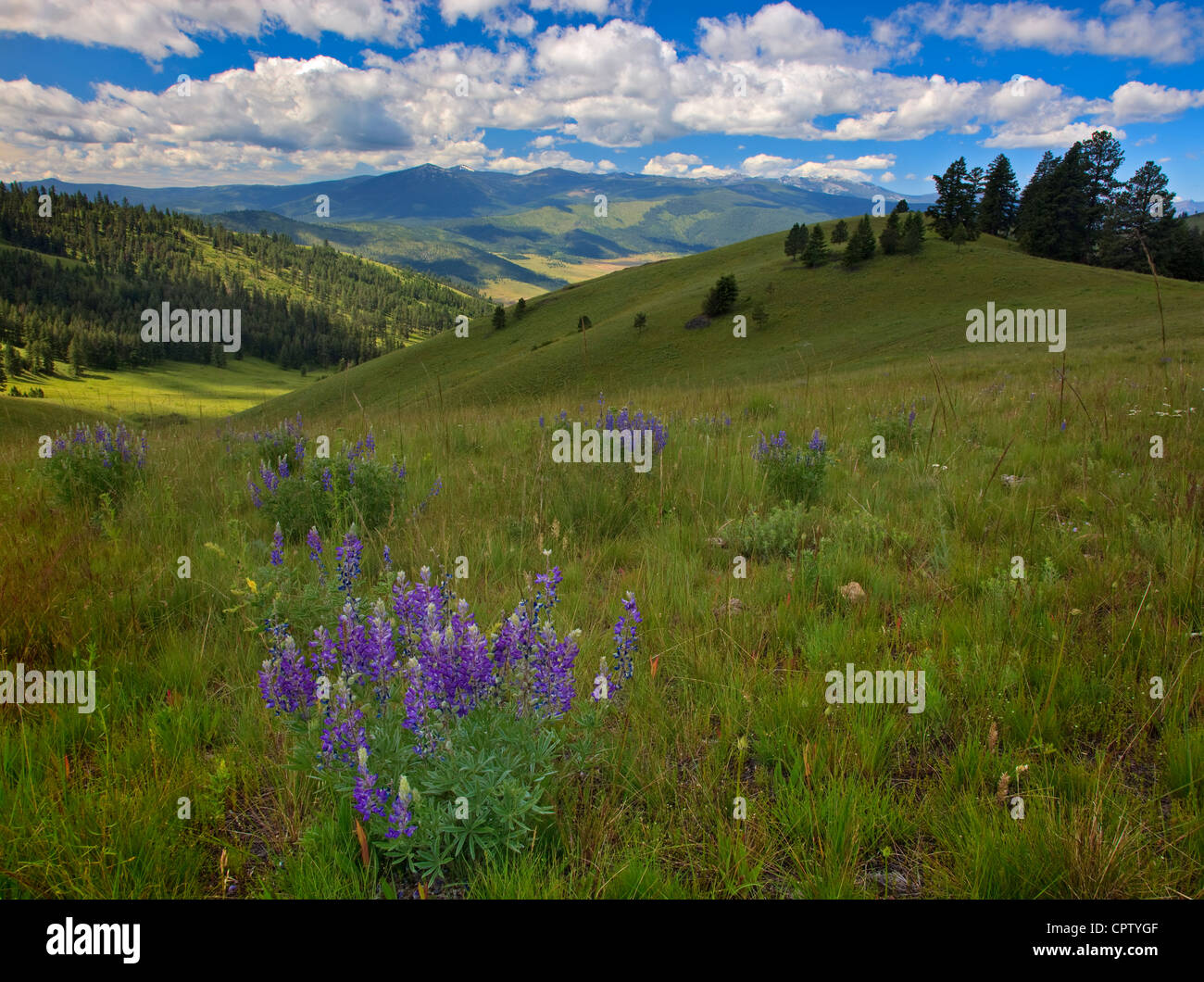 National Bison Range Wildlife Refuge Rolling prairie hillsides with summer flowers under cumulus clouds - Stock Image