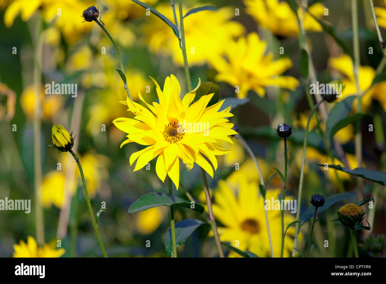 Rudbeckia flower, Asteraceae, also known as Coneflower, in garden in The Cotswolds, Oxfordshire, UK - Stock Image