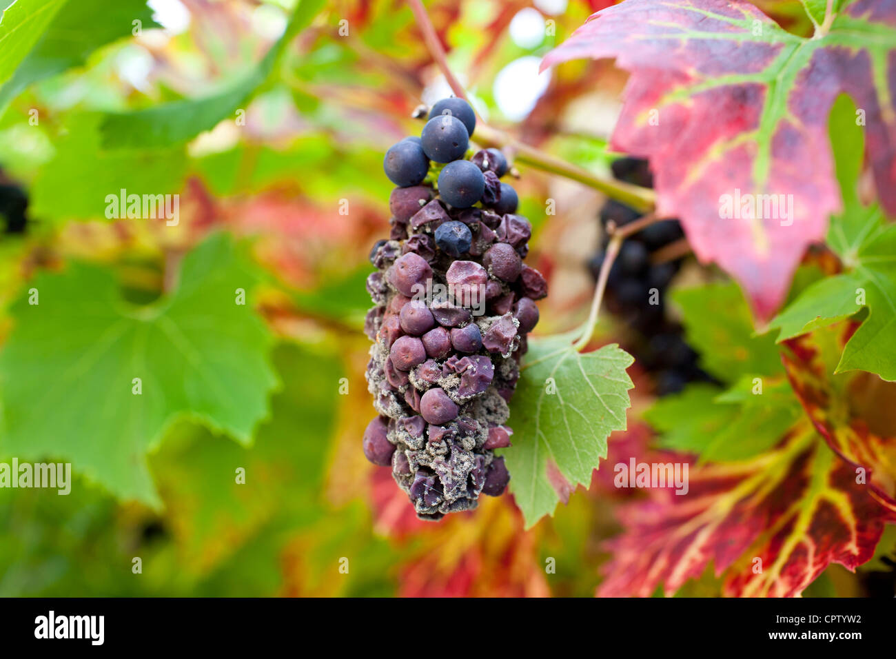 Withered grapes on a grapevine in country garden at Swinbrook in The Cotswolds, Oxfordshire, UK - Stock Image