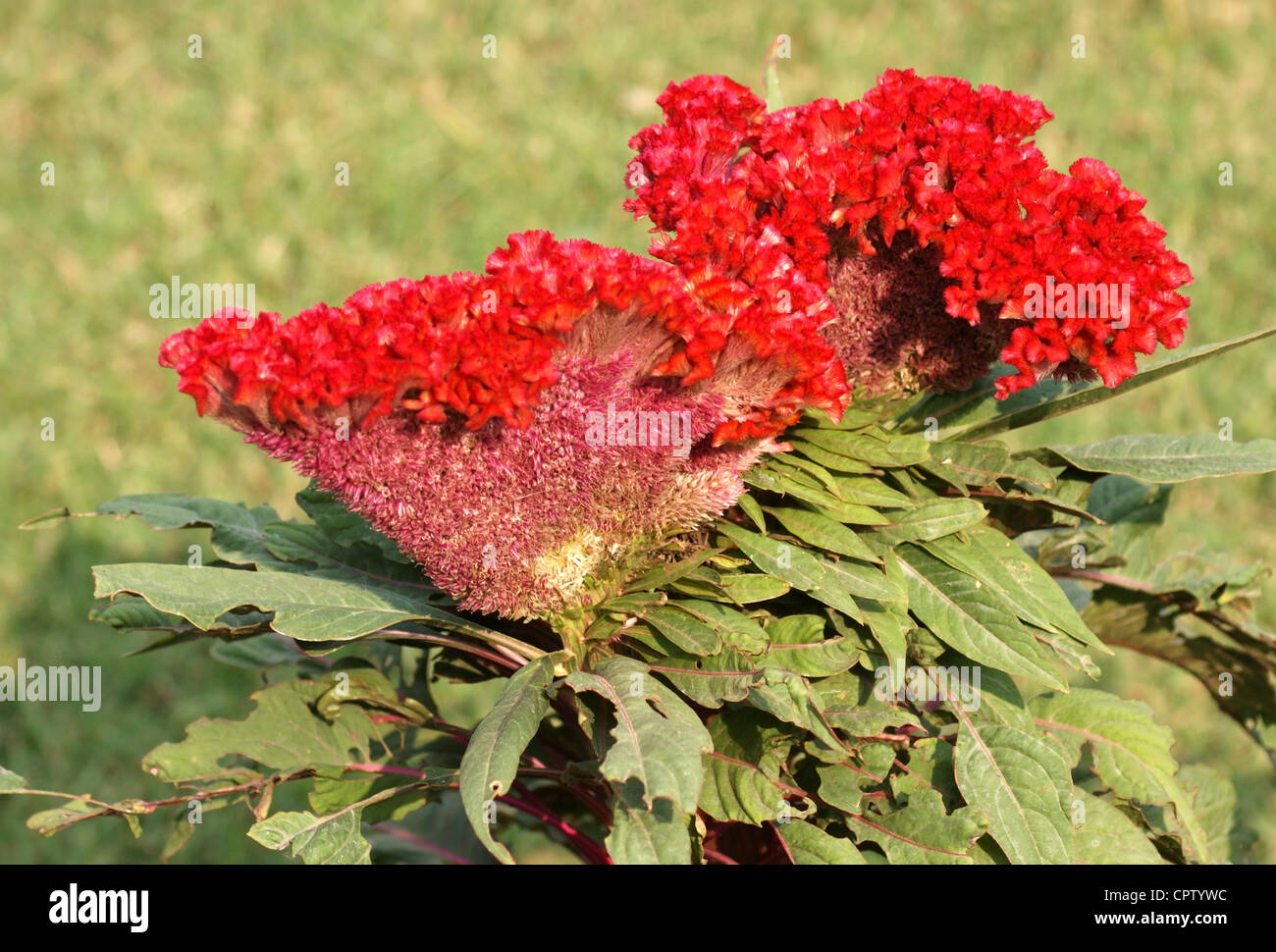 vibrant red flower named plumed cockscomb, seen in India - Stock Image