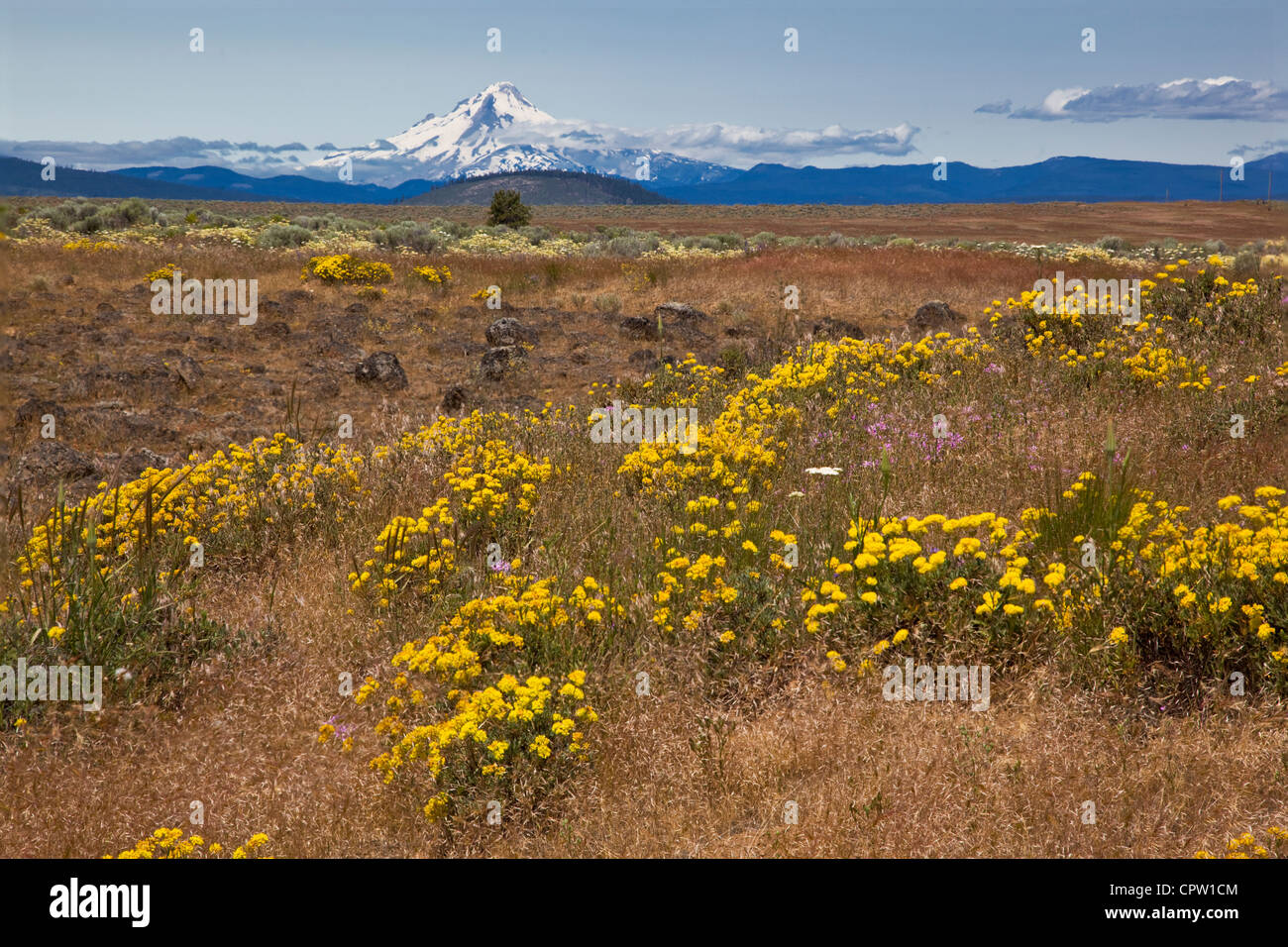 Wasco County, Oregon: Flowers on a short grass prairie with Mount Hood on the horizon - Stock Image