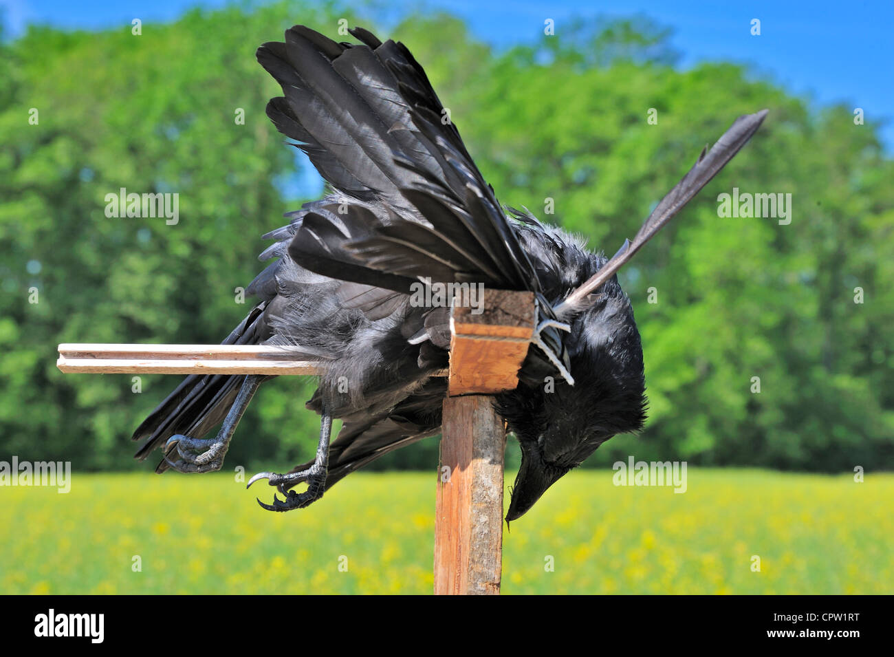 A dead crow tied to a stake in a Swiss farmer's field, to scare off the other crows - Stock Image