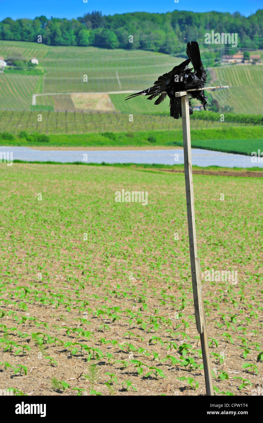 A dead crow tied to a stake in a Swiss field of young sunflowers, to scare off the other crows - Stock Image