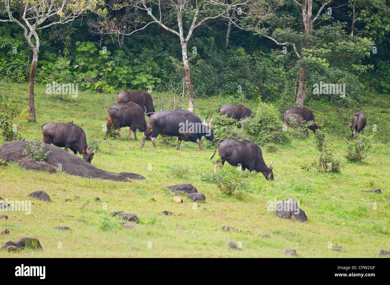 Gaur herd with a big bull,periyar tiger reserve ,kerala - Stock Image