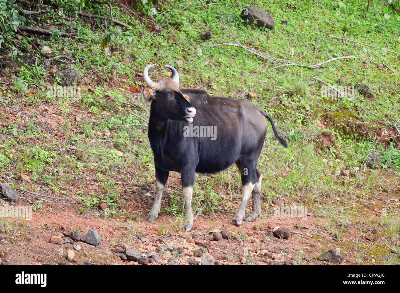 Young bull Gaur,Periyar tiger reserve Kerala,,India Stock Photo