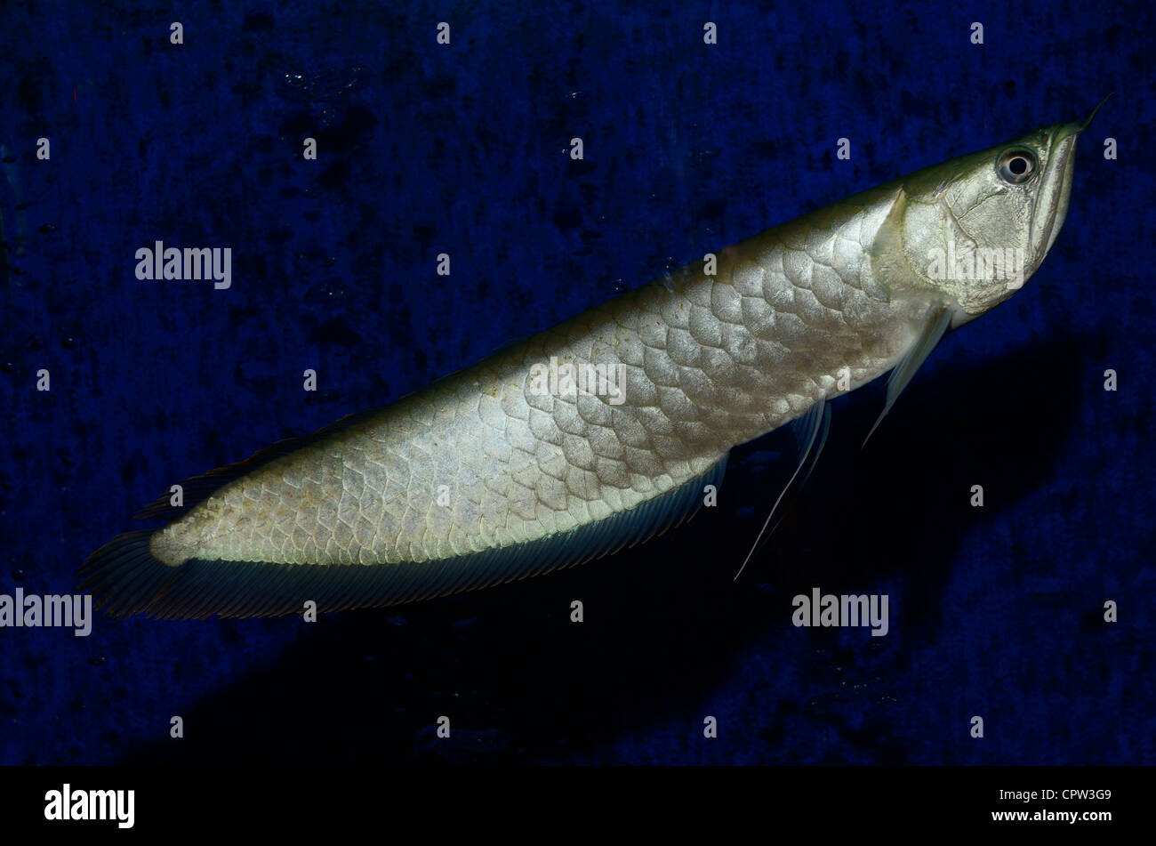 Silver Arowana freshwater bonytongue fish from the Amazon river swimming in an aquarium - Stock Image