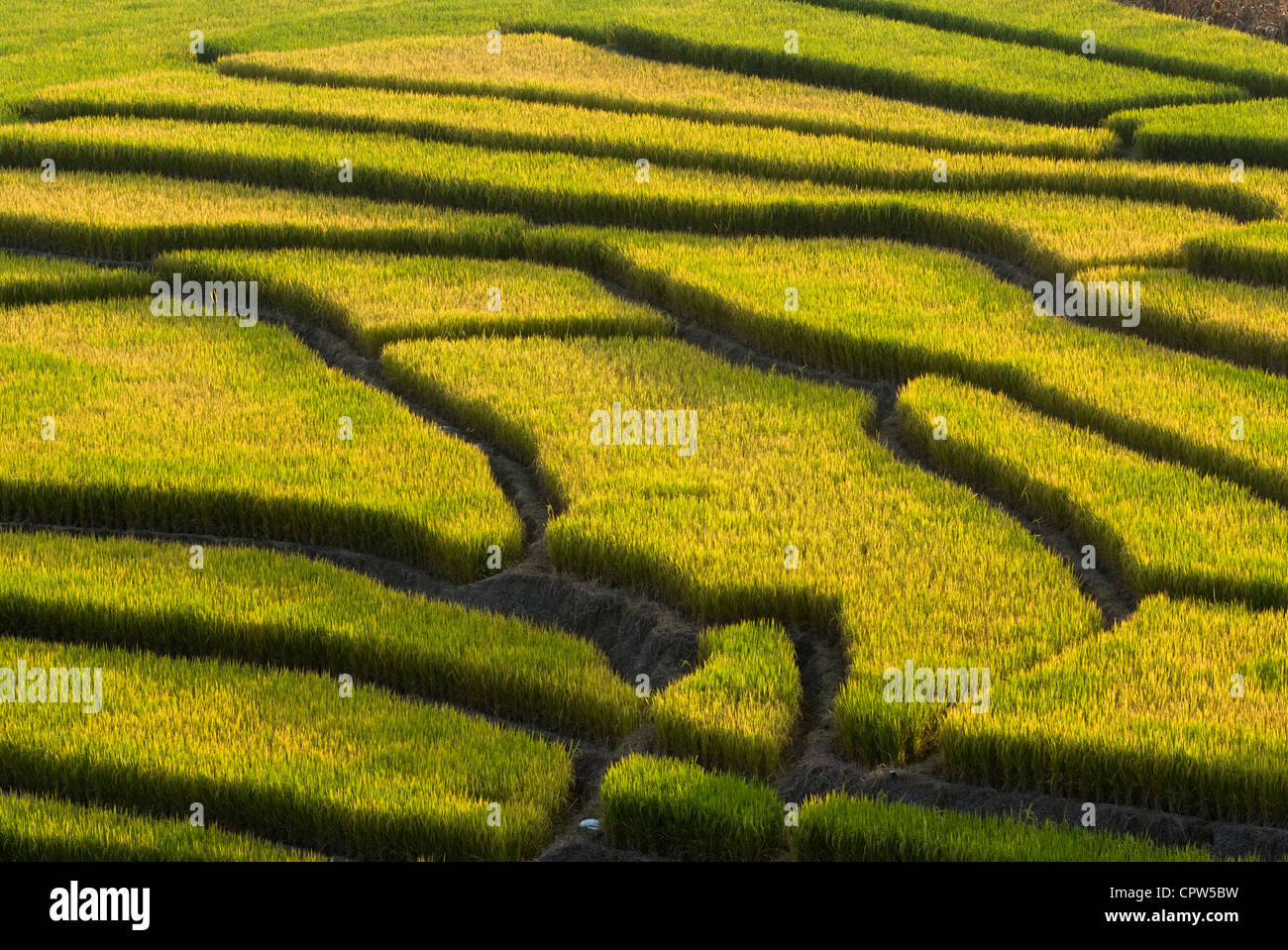 Terraced rice field - Stock Image