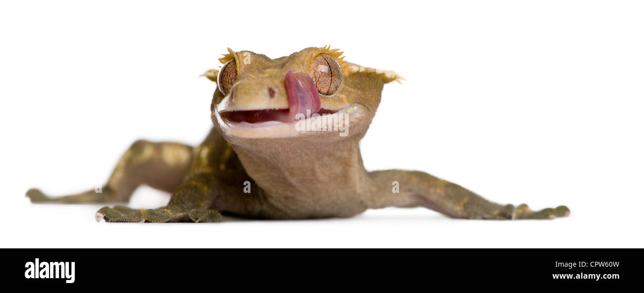 New Caledonian Crested Gecko, Rhacodactylus ciliatus, licking lips against white background - Stock Image