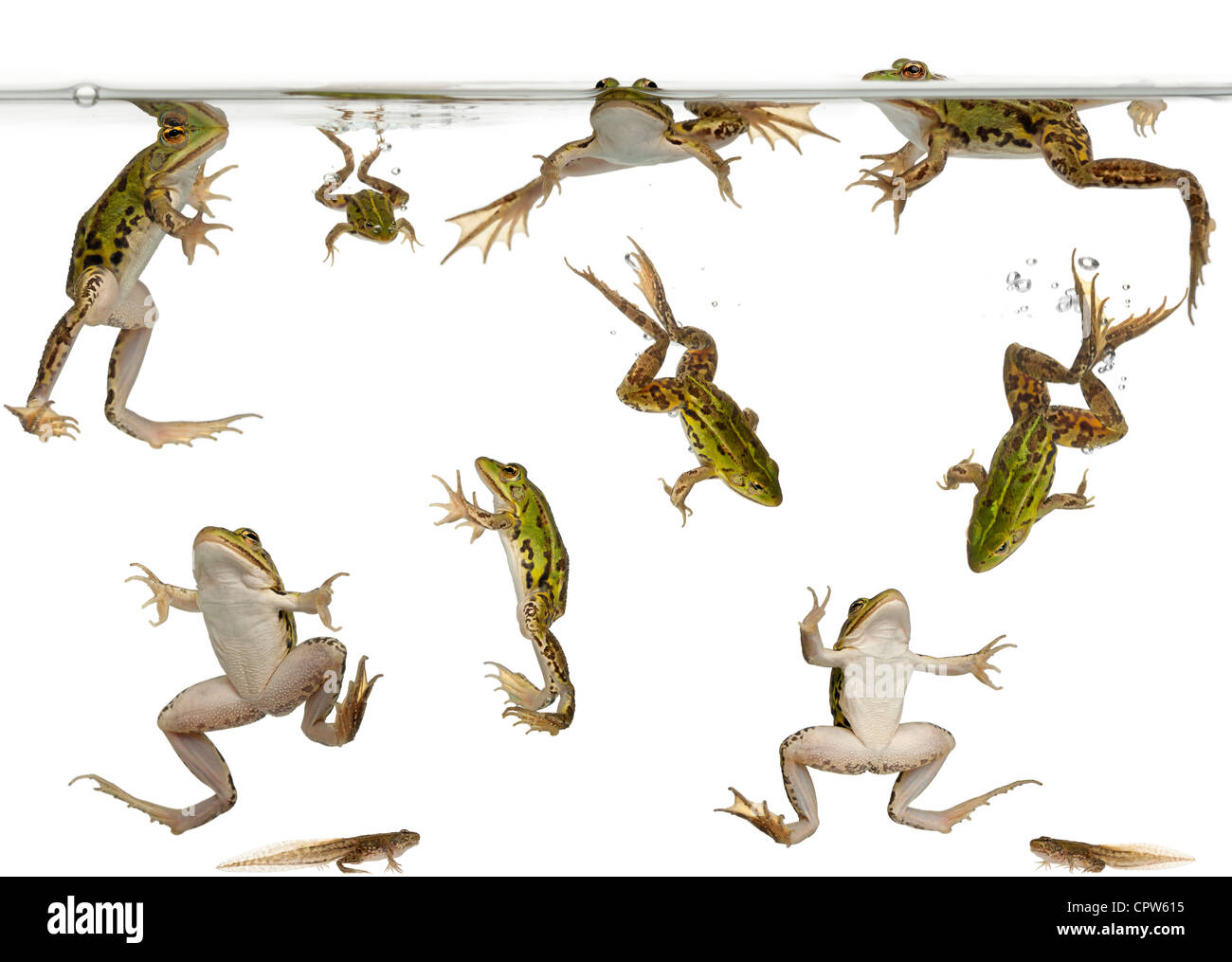 Edible Frogs, Rana esculenta, and tadpoles swimming under water against white background - Stock Image