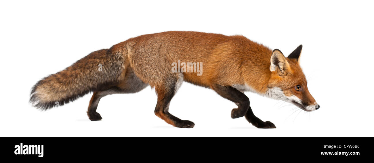 Red fox, Vulpes vulpes, 4 years old, walking against white background - Stock Image