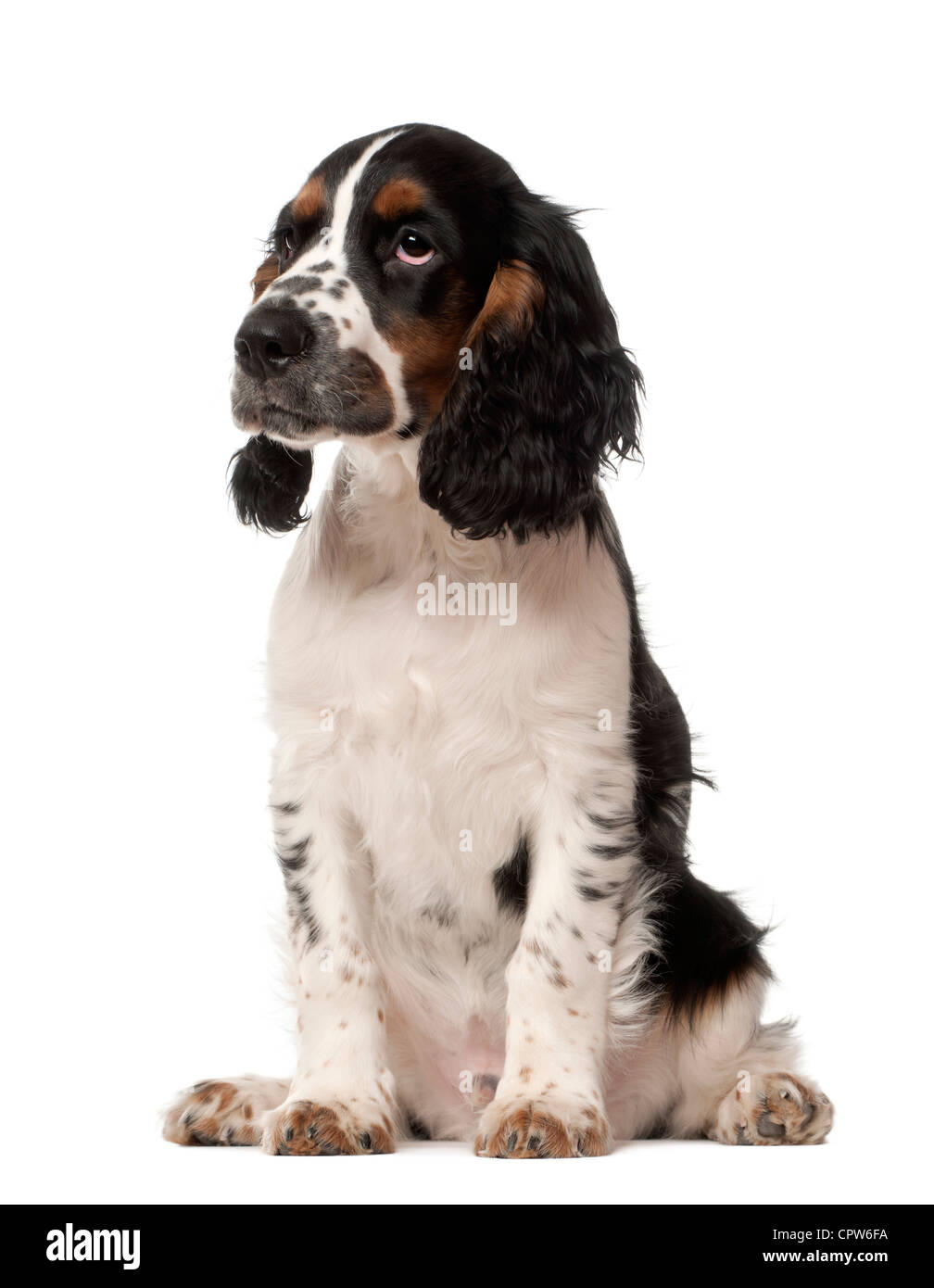 Cocker Spaniel Puppy Black White Stock Photos Cocker Spaniel Puppy